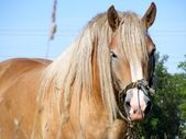 Portrait of latvian draft horse — Стоковое фото