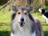 Rough collie barking — Stock Photo