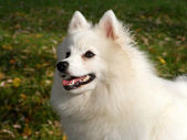 Japanese spitz portrait — Stock Photo