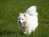 Japanese spitz running in the park — Stock Photo