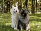 Keeshond and samoyed in park — Stock Photo