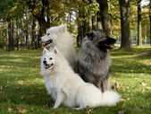 Keeshond, samoyed and japanese spitz in park — Stock Photo