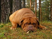 French mastiff lying on the ground in forest — Stock Photo