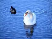 Güzel beyaz kuğu ve küçük ördek gölde yüzmek — Stok fotoğraf