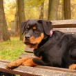 Rottweiler lying on the bench in park in autumn — Stock fotografie