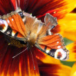 Stock Photo: Beautiful butterfly with broken wing sitting on flower