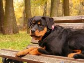 Rottweiler lying on the bench in park in autumn — Stock Photo