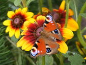 Beautiful butterfly sitting on flower — Stock Photo