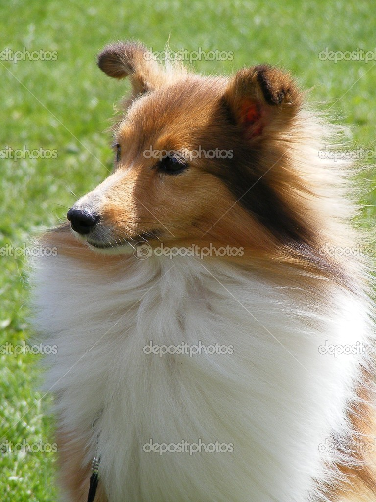 Brown and white sheltie portrait — Stock Photo #11337903
