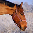 Bay horse portrait in winter — Foto Stock
