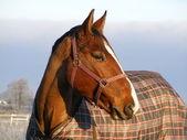 Bay horse in coat in winter — Stock Photo