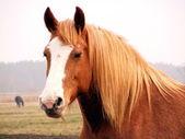 Palomino horse portrait — Stock Photo