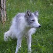 Stock Photo: Arctic fox in summer
