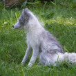 Arctic fox in summer - Stock Photo
