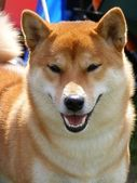 Red shiba inu portrait — Stock Photo