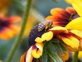 黄蜂对黄色花 — 图库照片