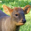 Brown pudu portrait — Stock Photo