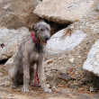 Irish wolfhound — Stock Photo