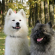 Two fluffy dogs - Stock Photo