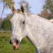 Gray horse smiling — Stock Photo