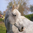 Gray horse portrait — Stock Photo