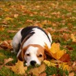 Stock Photo: Beagle resting on ground in autumn