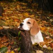 Beagle lying on the ground in the forest in autumn — Stock Photo #11588811