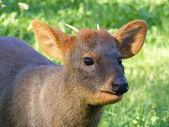 Brown pudu portrait — Stock Photo