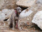Irish wolfhound — Stock Photo