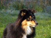 Black sheltie portrait — Stock Photo