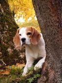 Beagle hiding behind the tree — Stock Photo