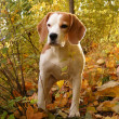 Stock Photo: Tricolour beagle in forest
