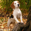 Beagle standing near the tree — Photo