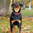 Stock Photo: Rottweiler in autumn forest