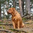 Sad french mastiff in the forest — Stock Photo