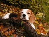 Beagle lying on the ground in the forest in autumn — Stock Photo
