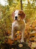 Tricolour beagle in the forest — Stock Photo