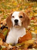 Beagle resting on the ground in autumn — Stock Photo