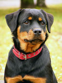 Rottweiler portrait — Stock Photo