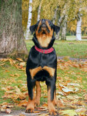 Rottweiler in the autumn forest — Stock Photo