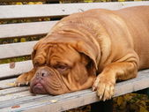 French mastiff lying on the bench — Stock Photo