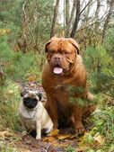 French mastiff and pug in the forest — Stock Photo