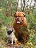 Francuski mastif i mops w lesie — Zdjęcie stockowe