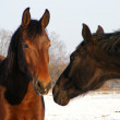 Brown and black horse communicating — Stock Photo #11960519