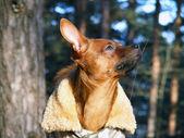Portrait de terrier russe jouet en couche — Photo