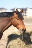 Bay horse eating hay at the countryside — Stock Photo