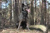 Portret przyjazny mieszany rasa psa w lesie — Zdjęcie stockowe