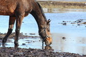 Brown horse drinking from the puddle — Stock Photo