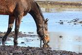 Brown caballo bebiendo del charco — Foto de Stock