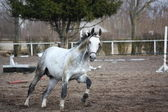 White horse galloping at the field with lounge — Stock Photo